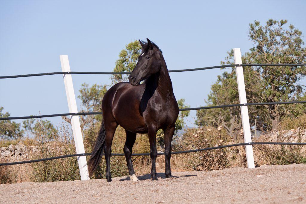 razza minorchina cavalli